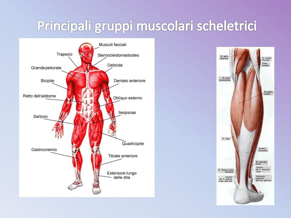 Principali gruppi muscolari scheletrici