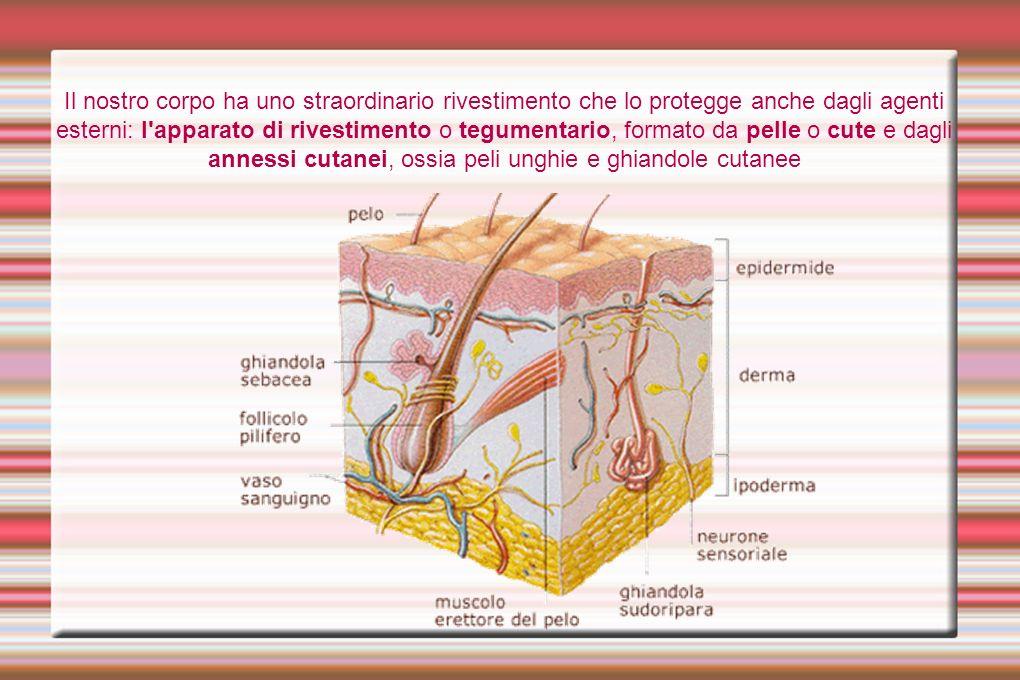 Il nostro corpo ha uno straordinario rivestimento che lo protegge anche dagli agenti esterni: l apparato di rivestimento o tegumentario, formato da pelle o cute e dagli annessi cutanei, ossia peli unghie e ghiandole cutanee