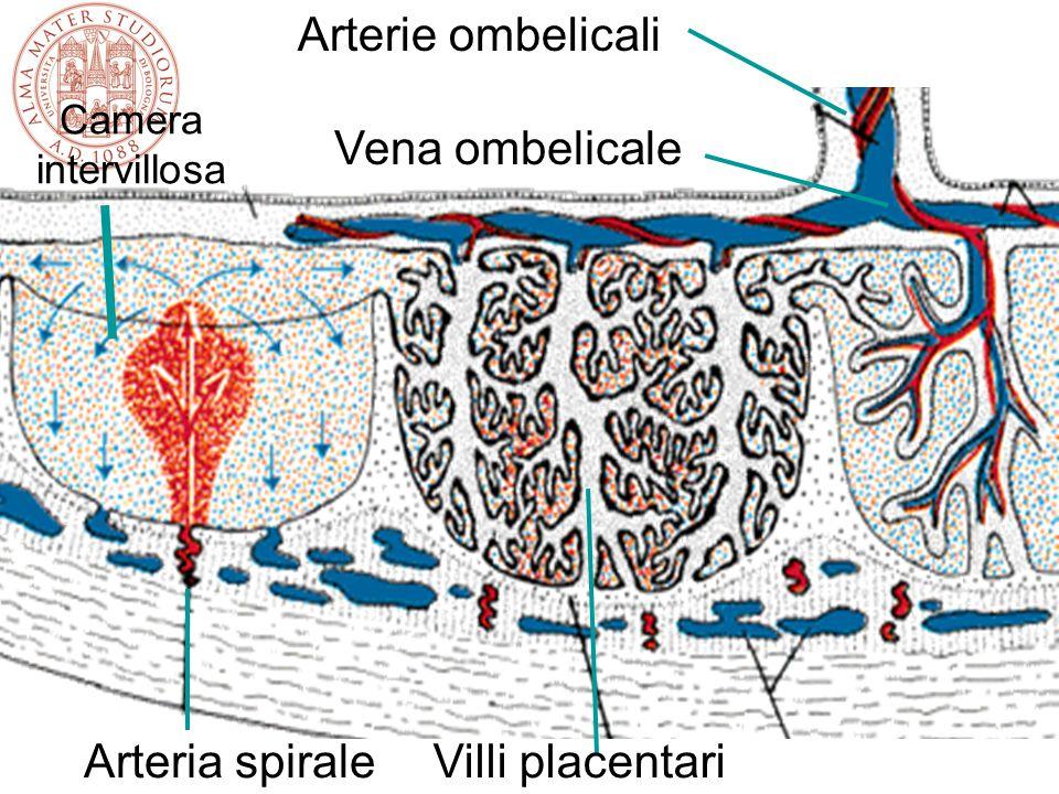 Arterie ombelicali Vena ombelicale Arteria spirale Villi placentari