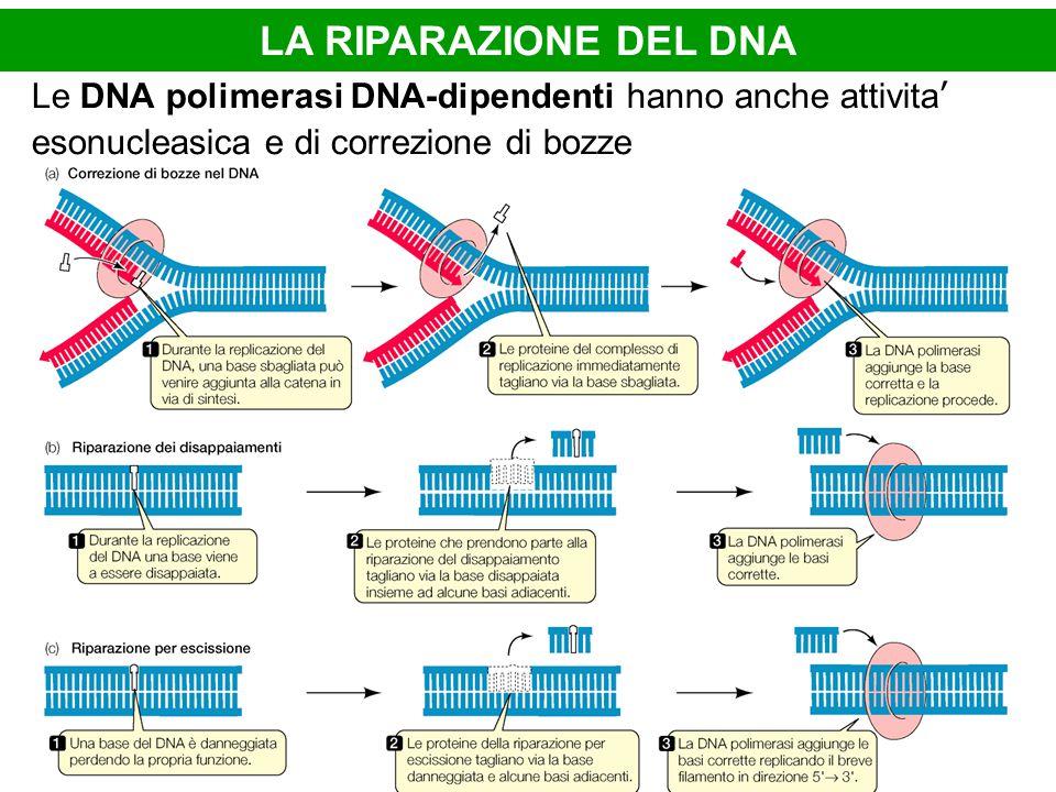 LA RIPARAZIONE DEL DNA Le DNA polimerasi DNA-dipendenti hanno anche attivita' esonucleasica e di correzione di bozze.