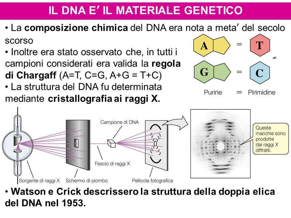 IL DNA E' IL MATERIALE GENETICO