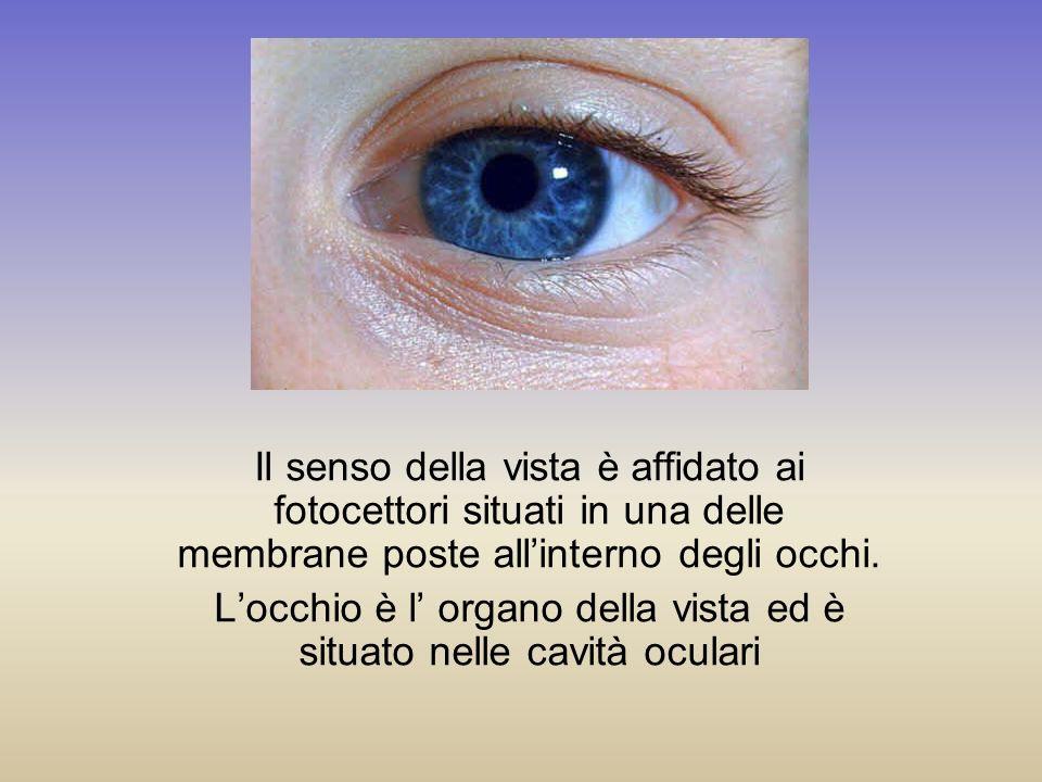 L'occhio è l' organo della vista ed è situato nelle cavità oculari