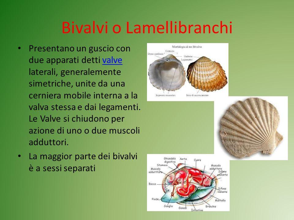 Bivalvi o Lamellibranchi