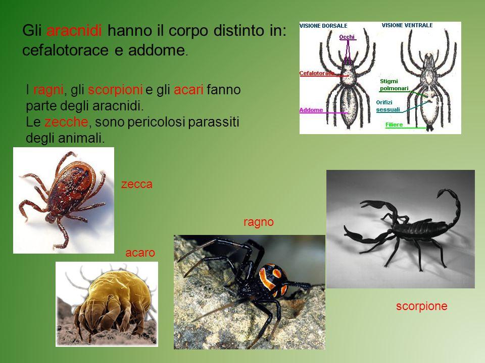 Gli aracnidi hanno il corpo distinto in: cefalotorace e addome.