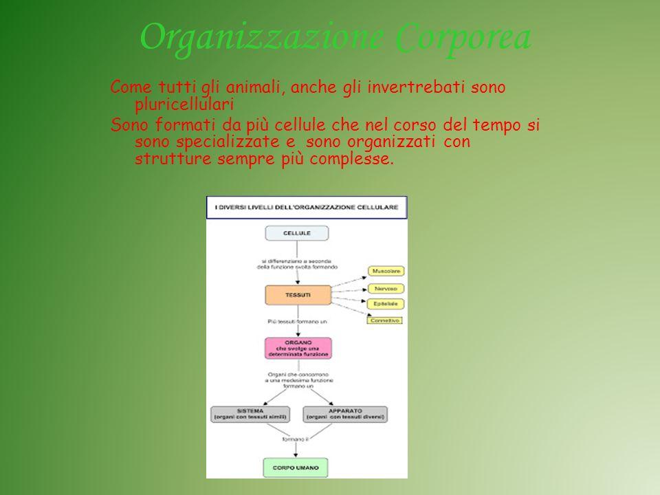 Organizzazione Corporea