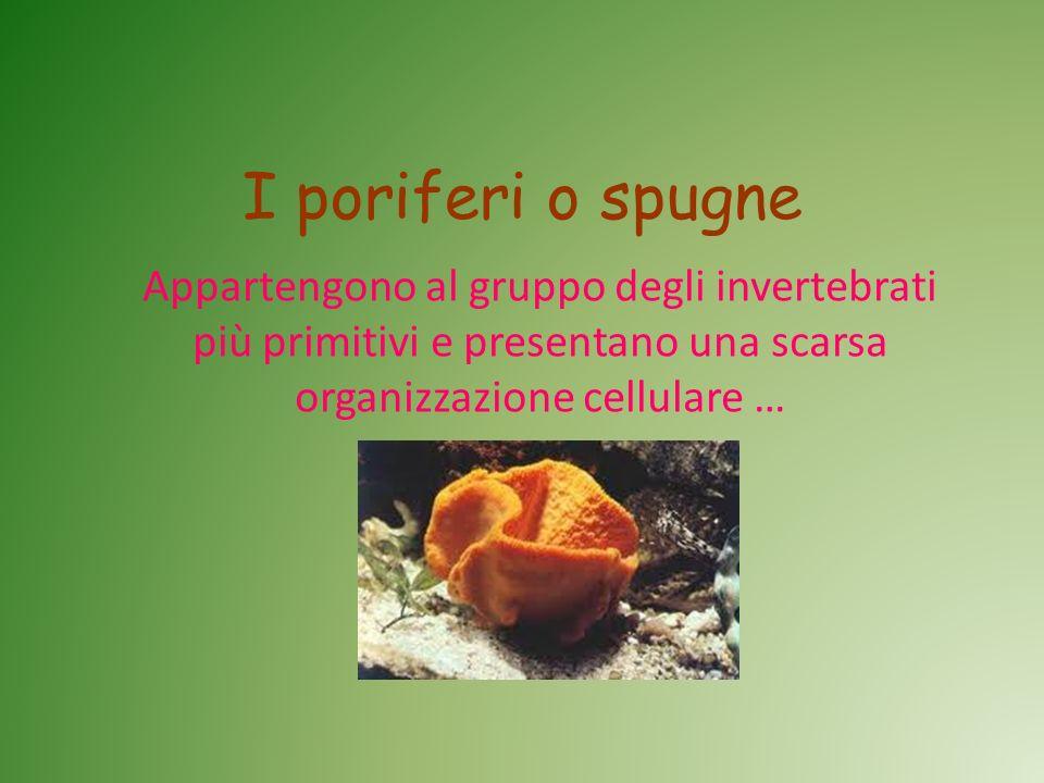 I poriferi o spugne Appartengono al gruppo degli invertebrati più primitivi e presentano una scarsa organizzazione cellulare …
