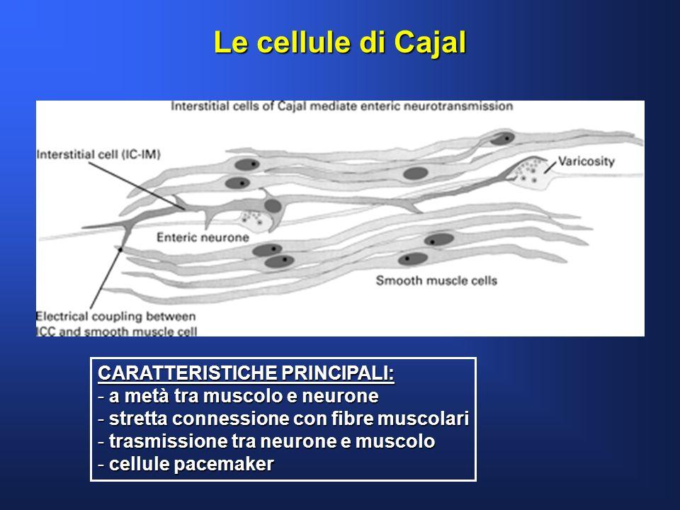 Le cellule di Cajal CARATTERISTICHE PRINCIPALI: