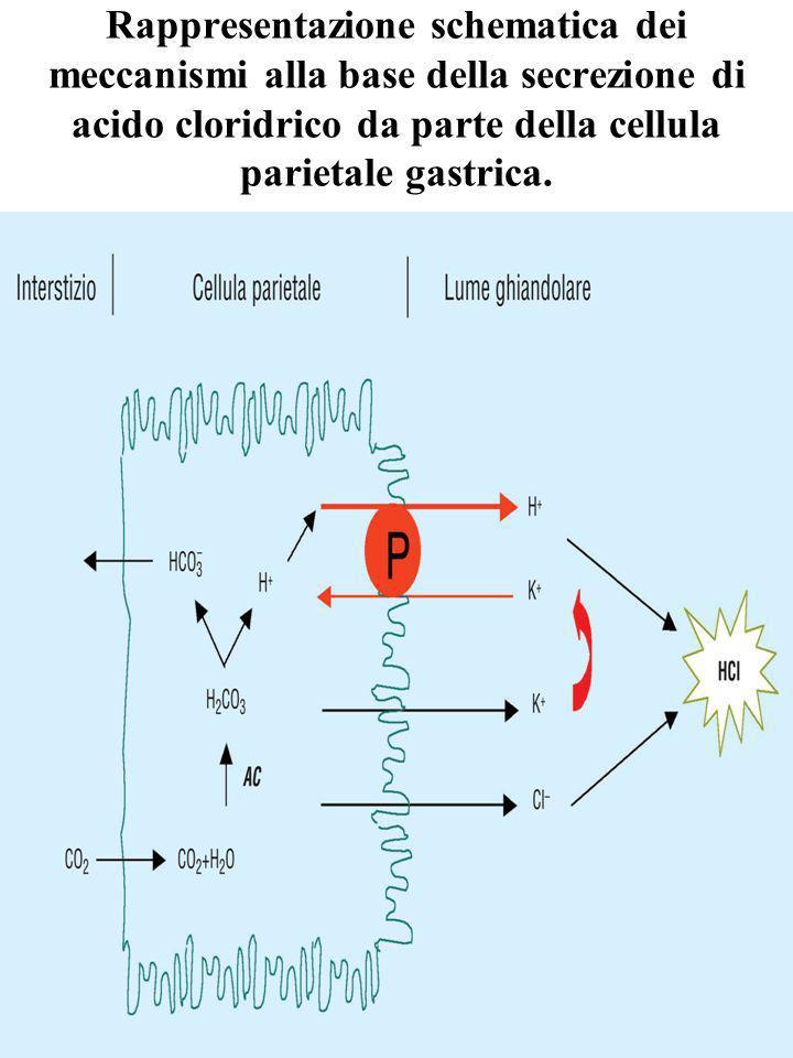 Rappresentazione schematica dei meccanismi alla base della secrezione di acido cloridrico da parte della cellula parietale gastrica.