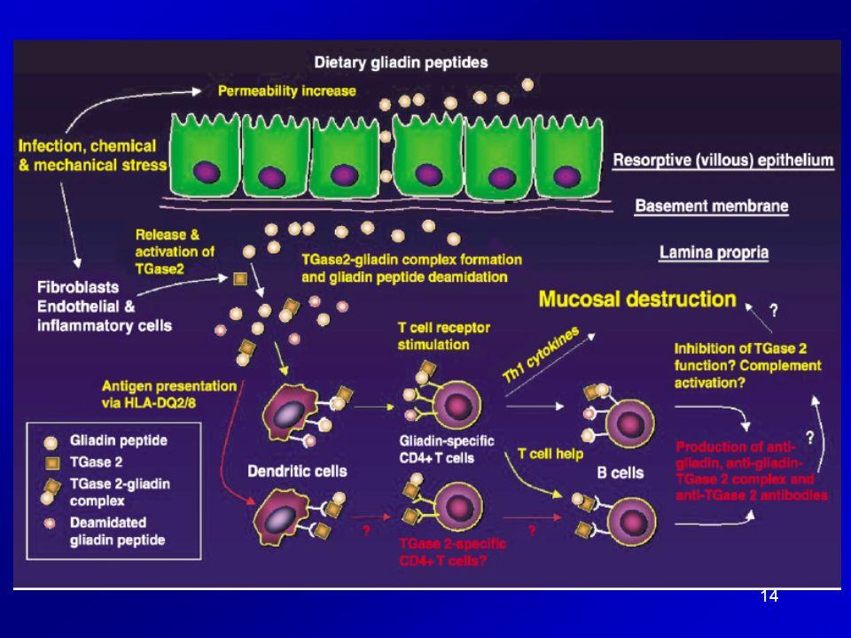 Development of anti-TGase 2 autoantibodies