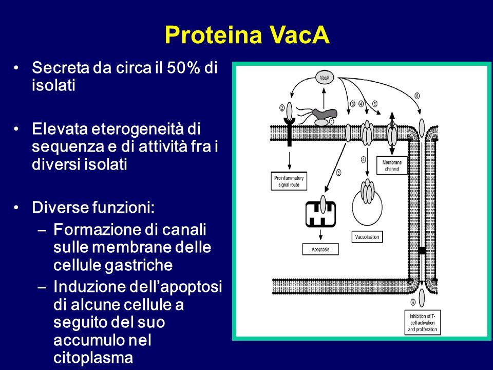 Proteina VacA Secreta da circa il 50% di isolati