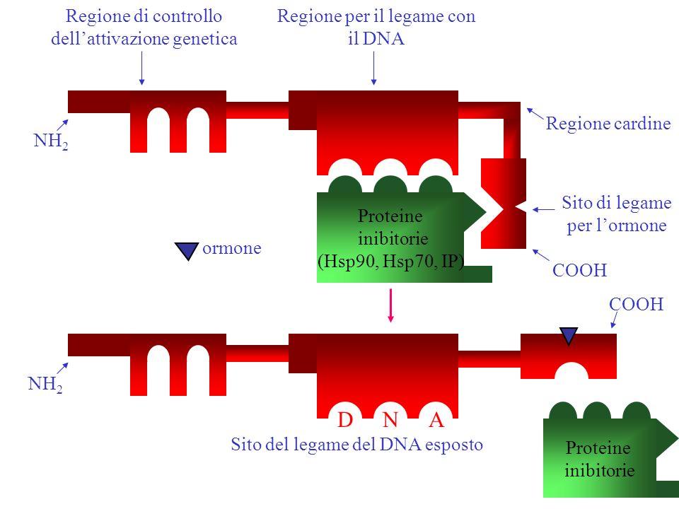 D N A Regione di controllo dell'attivazione genetica