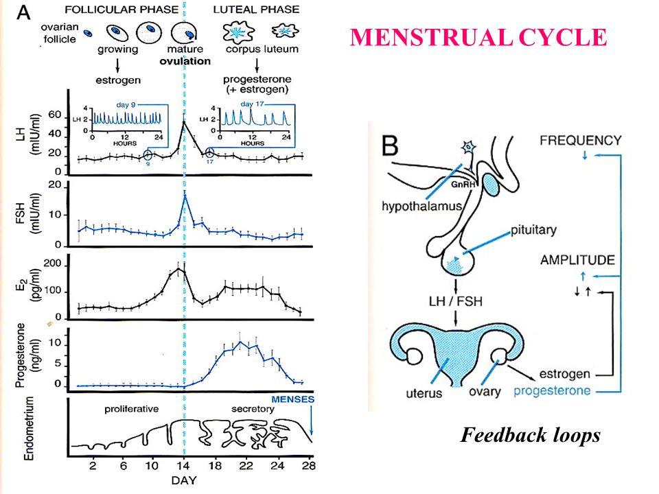 MENSTRUAL CYCLE Feedback loops