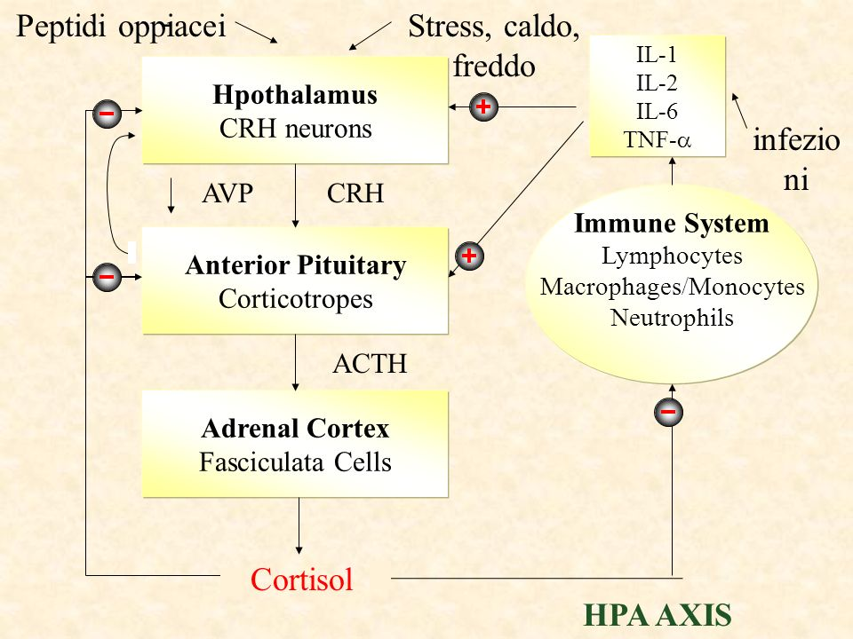 Macrophages/Monocytes