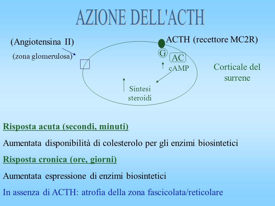 AZIONE DELL ACTH ACTH (recettore MC2R) (Angiotensina II) G AC