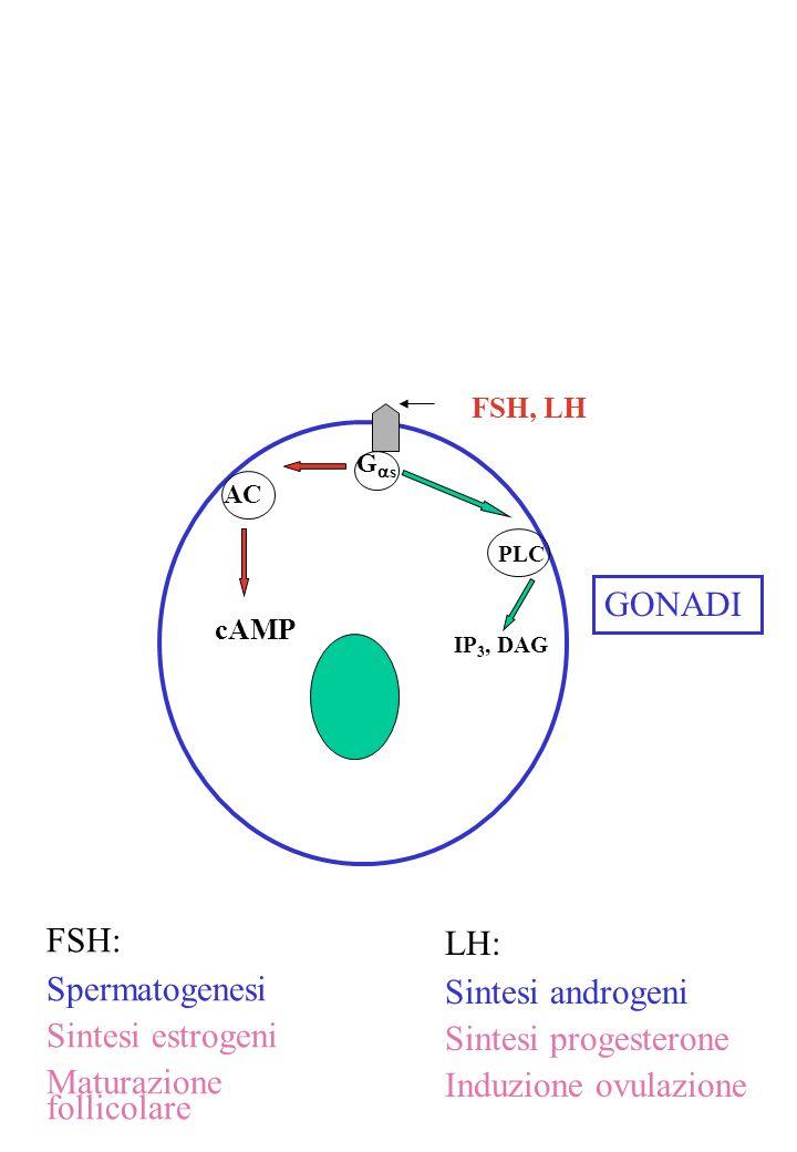Maturazione follicolare LH: Sintesi androgeni Sintesi progesterone