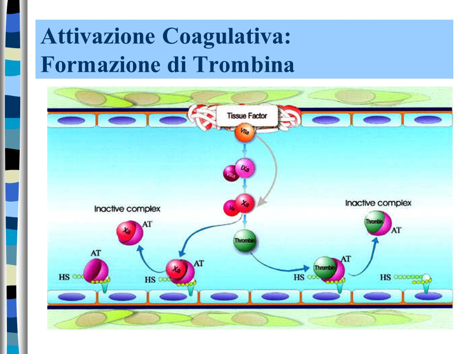 Attivazione Coagulativa: Formazione di Trombina