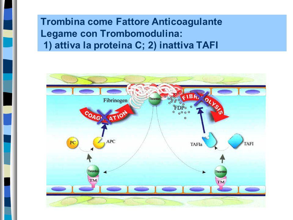 Trombina come Fattore Anticoagulante Legame con Trombomodulina: 1) attiva la proteina C; 2) inattiva TAFI