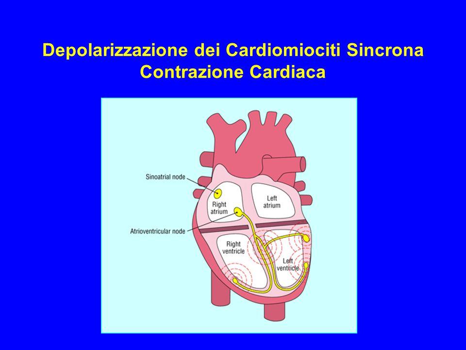 Depolarizzazione dei Cardiomiociti Sincrona Contrazione Cardiaca