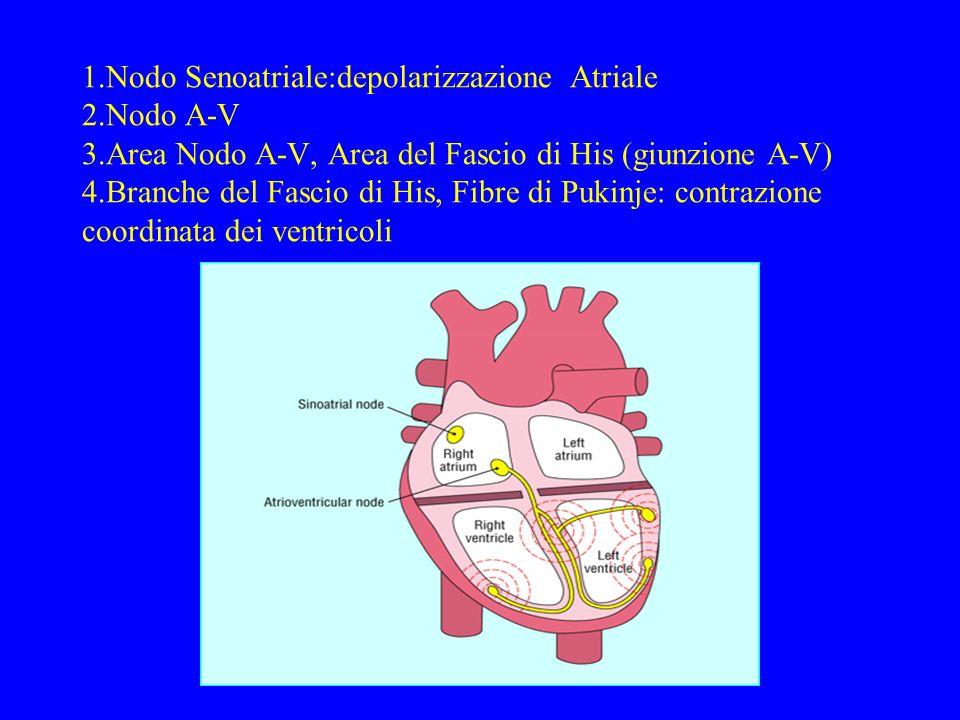 1. Nodo Senoatriale:depolarizzazione Atriale 2. Nodo A-V 3