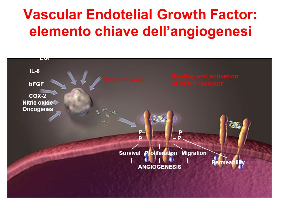 Vascular Endotelial Growth Factor: elemento chiave dell'angiogenesi