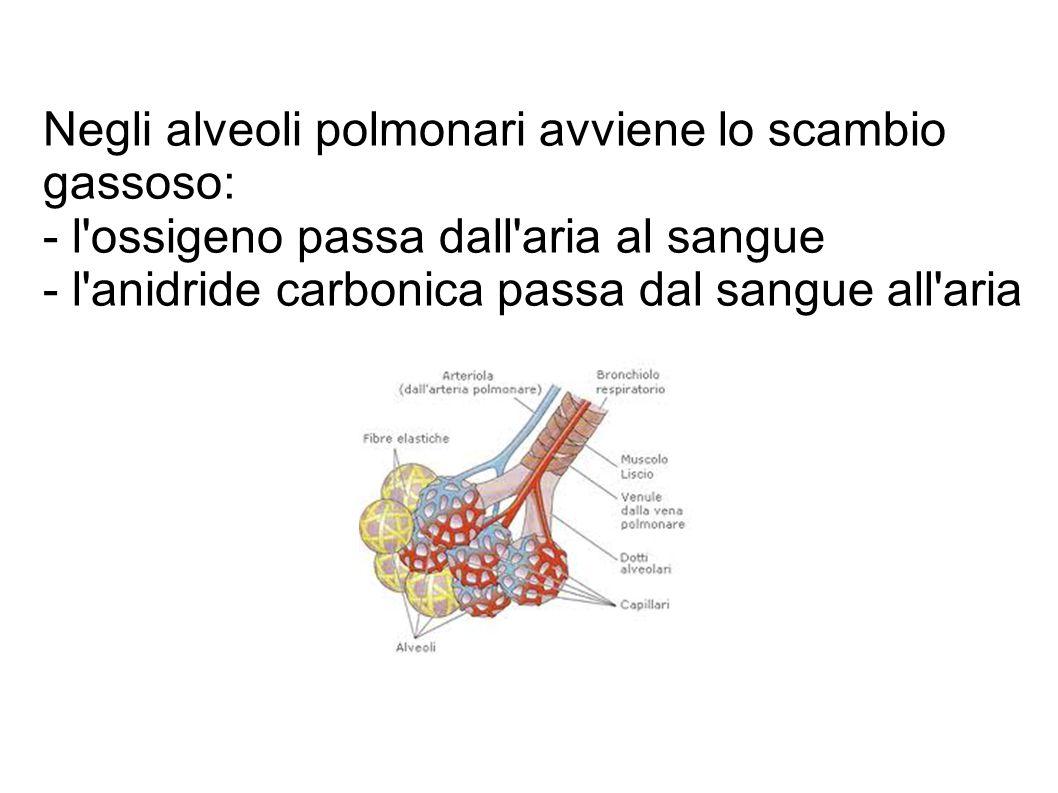 Negli alveoli polmonari avviene lo scambio gassoso: