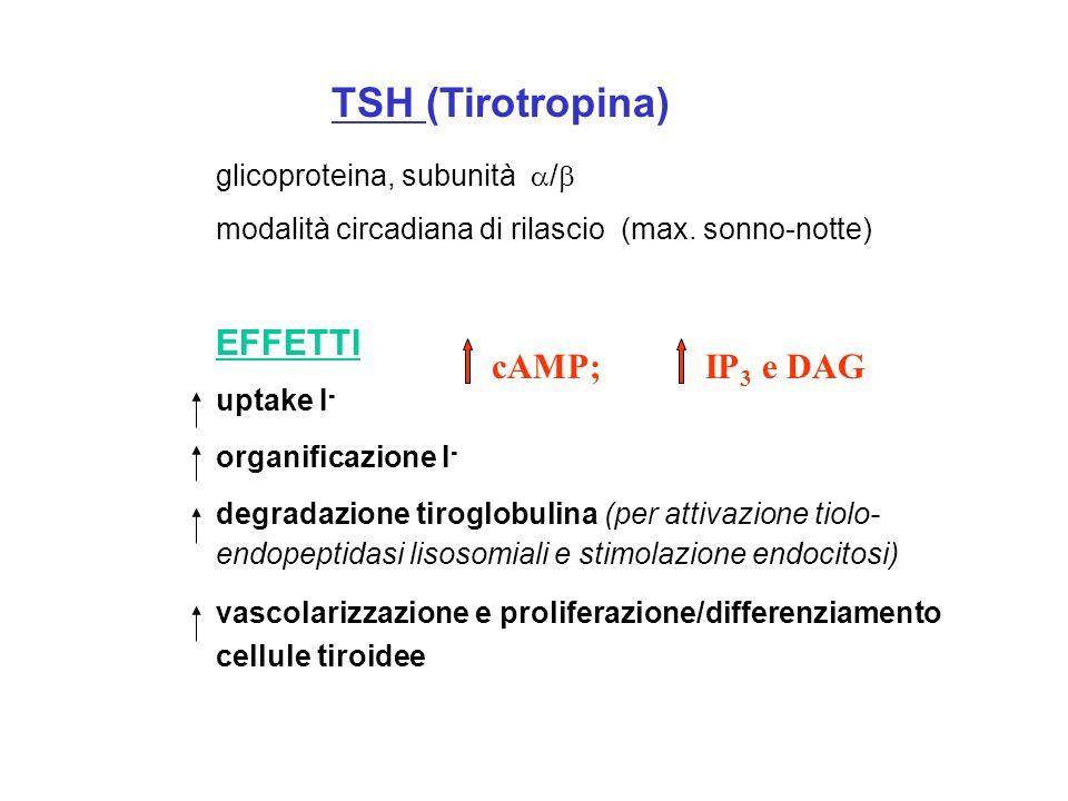 TSH (Tirotropina) EFFETTI cAMP; IP3 e DAG glicoproteina, subunità /