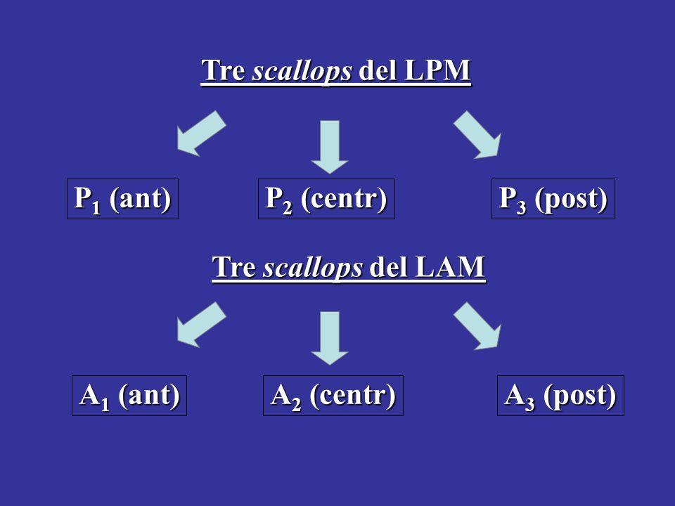 Tre scallops del LPM P1 (ant) P2 (centr) P3 (post) Tre scallops del LAM.