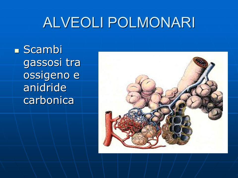 ALVEOLI POLMONARI Scambi gassosi tra ossigeno e anidride carbonica