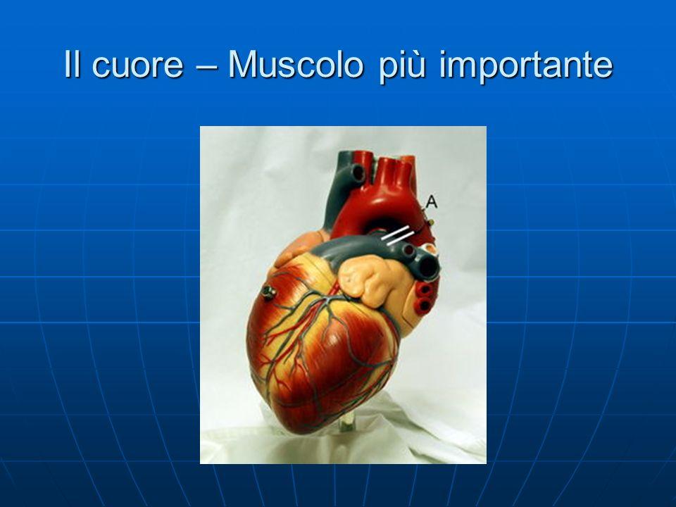 Il cuore – Muscolo più importante