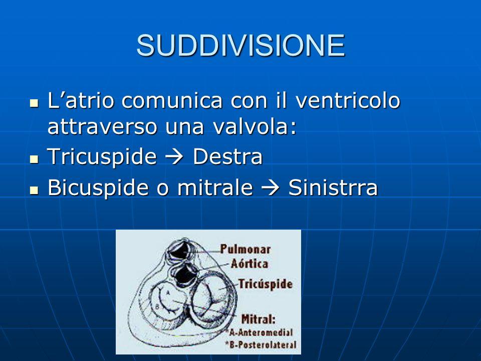 SUDDIVISIONE L'atrio comunica con il ventricolo attraverso una valvola: Tricuspide  Destra.
