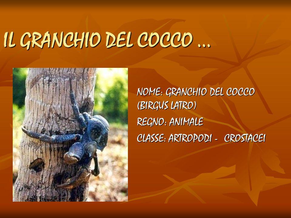 IL GRANCHIO DEL COCCO … NOME: GRANCHIO DEL COCCO (BIRGUS LATRO)