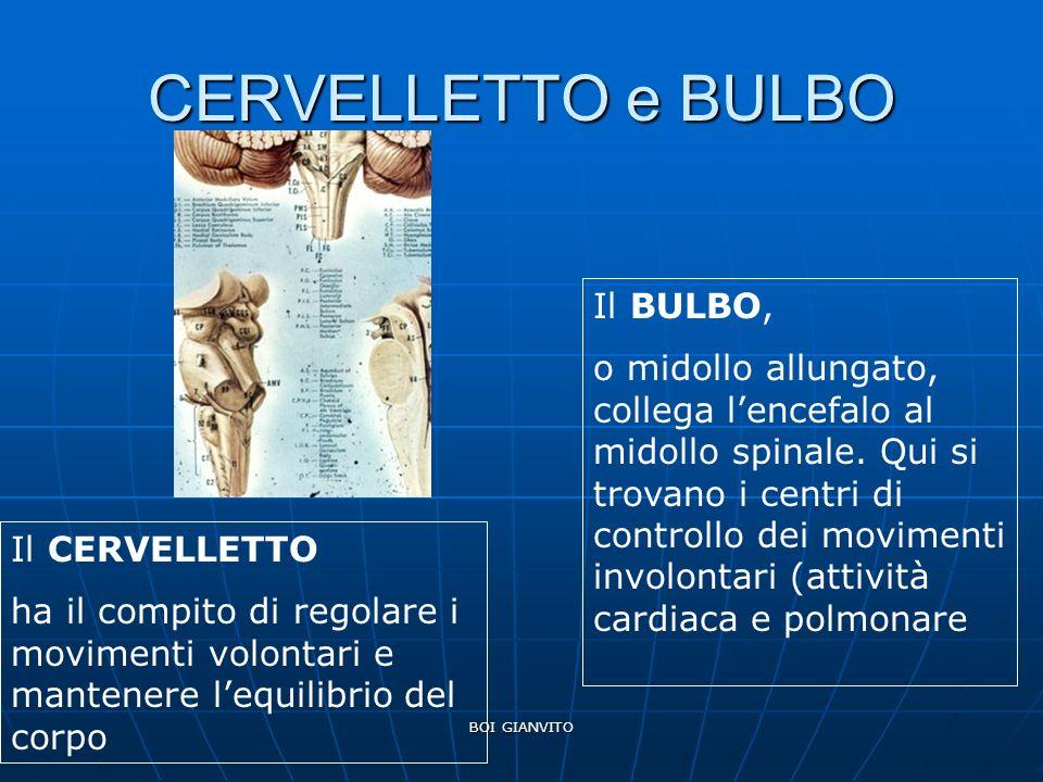 CERVELLETTO e BULBO Il BULBO,