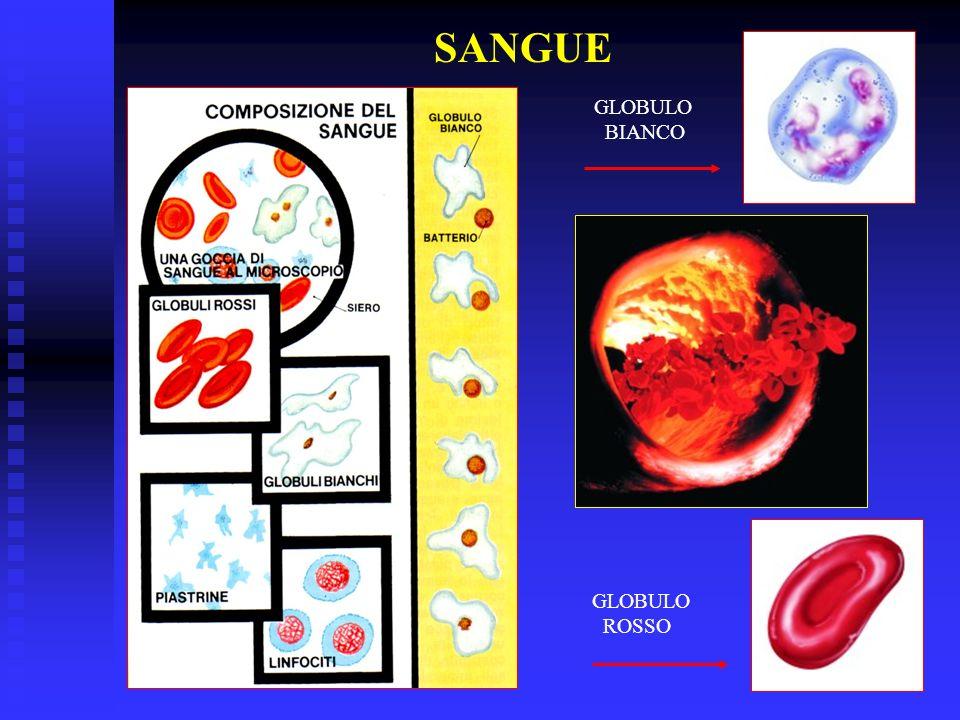 SANGUE GLOBULO BIANCO GLOBULO ROSSO
