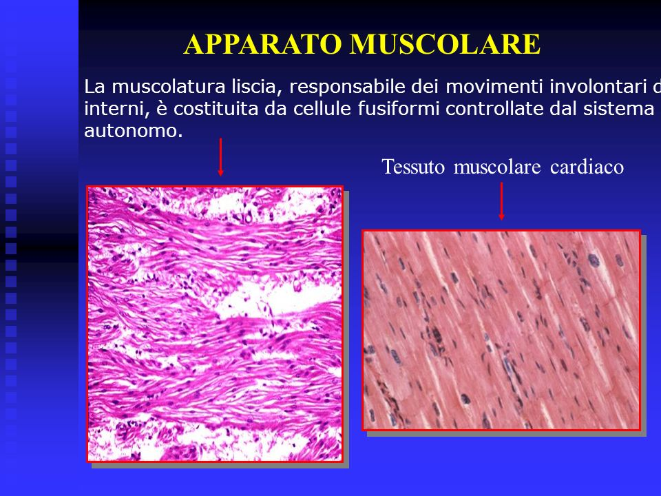 APPARATO MUSCOLARE Tessuto muscolare cardiaco