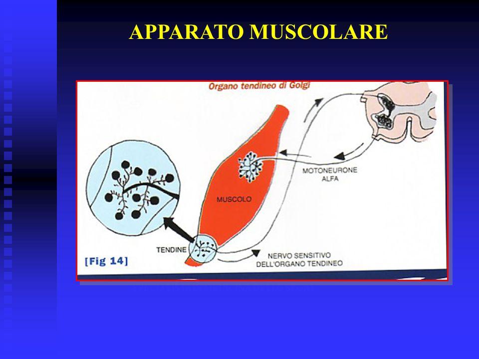 APPARATO MUSCOLARE DR. STEFANO BARATIERI