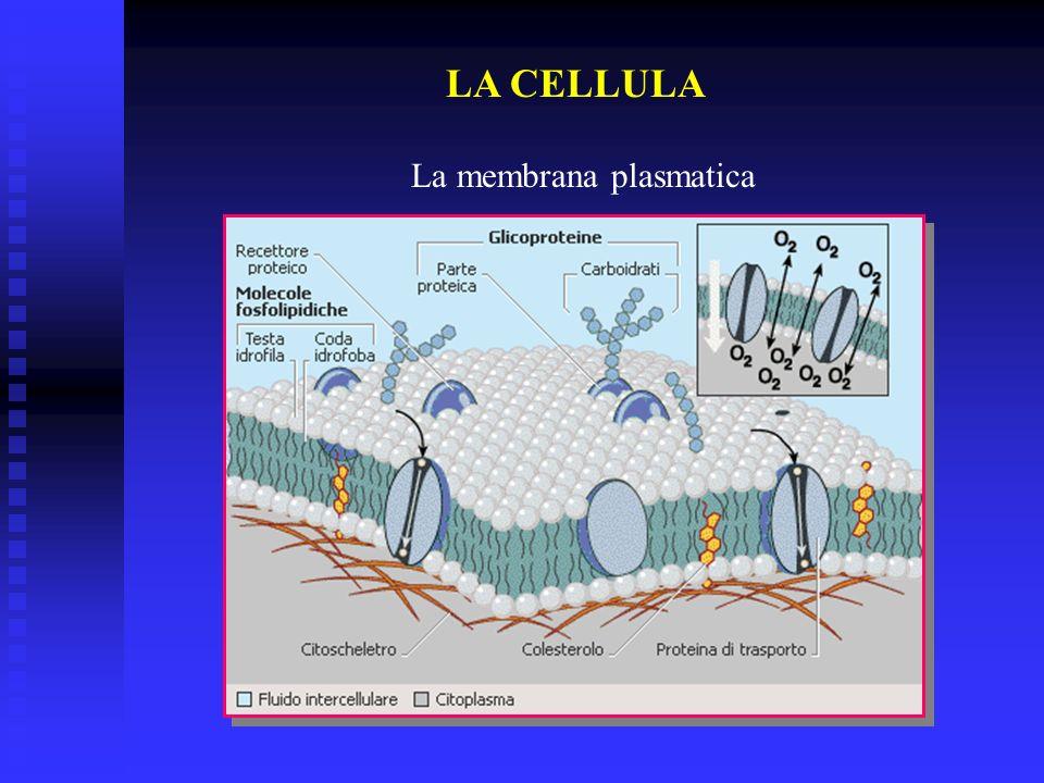 LA CELLULA La membrana plasmatica Citoplasma