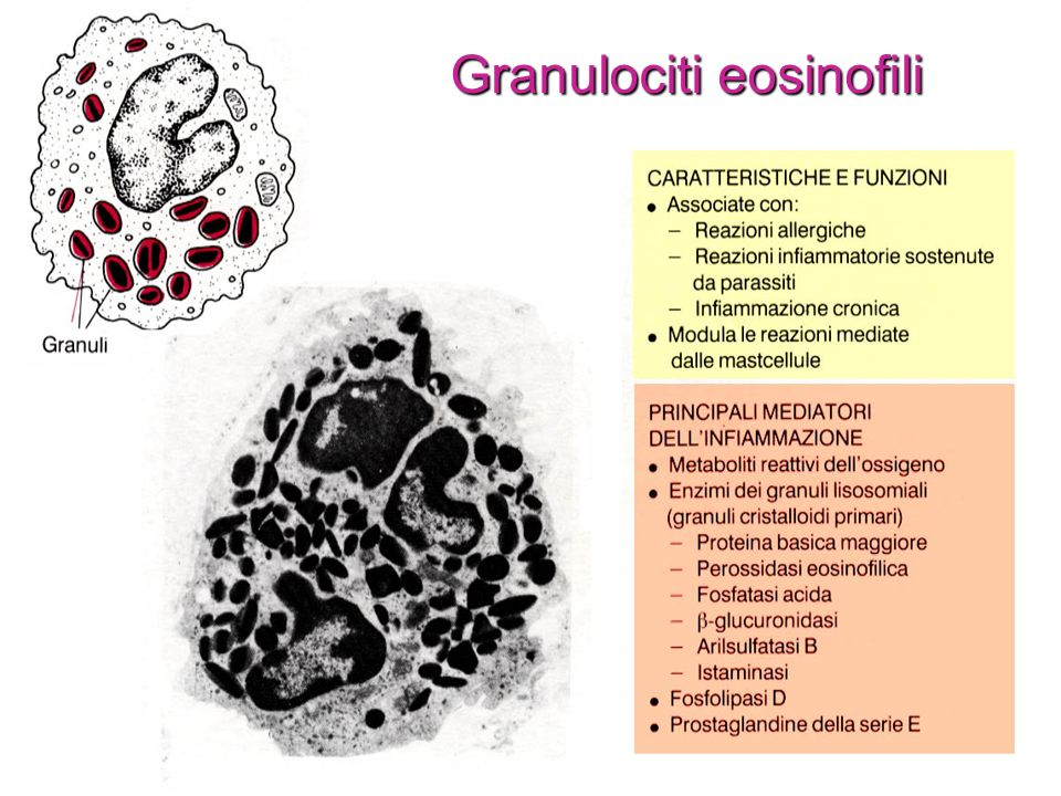 Granulociti eosinofili