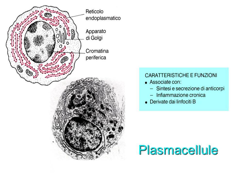 Plasmacellule