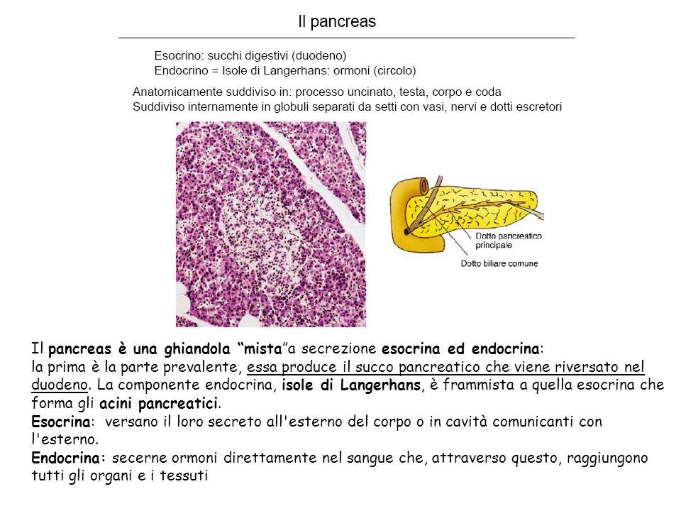 Il pancreas è una ghiandola mista a secrezione esocrina ed endocrina: