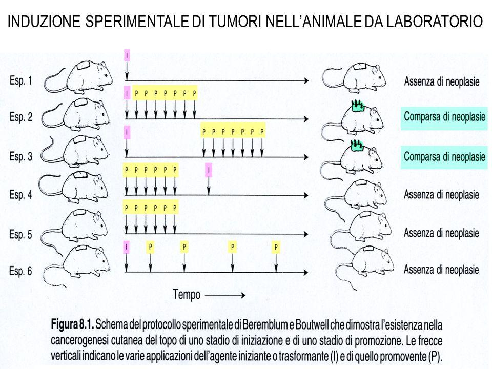INDUZIONE SPERIMENTALE DI TUMORI NELL'ANIMALE DA LABORATORIO