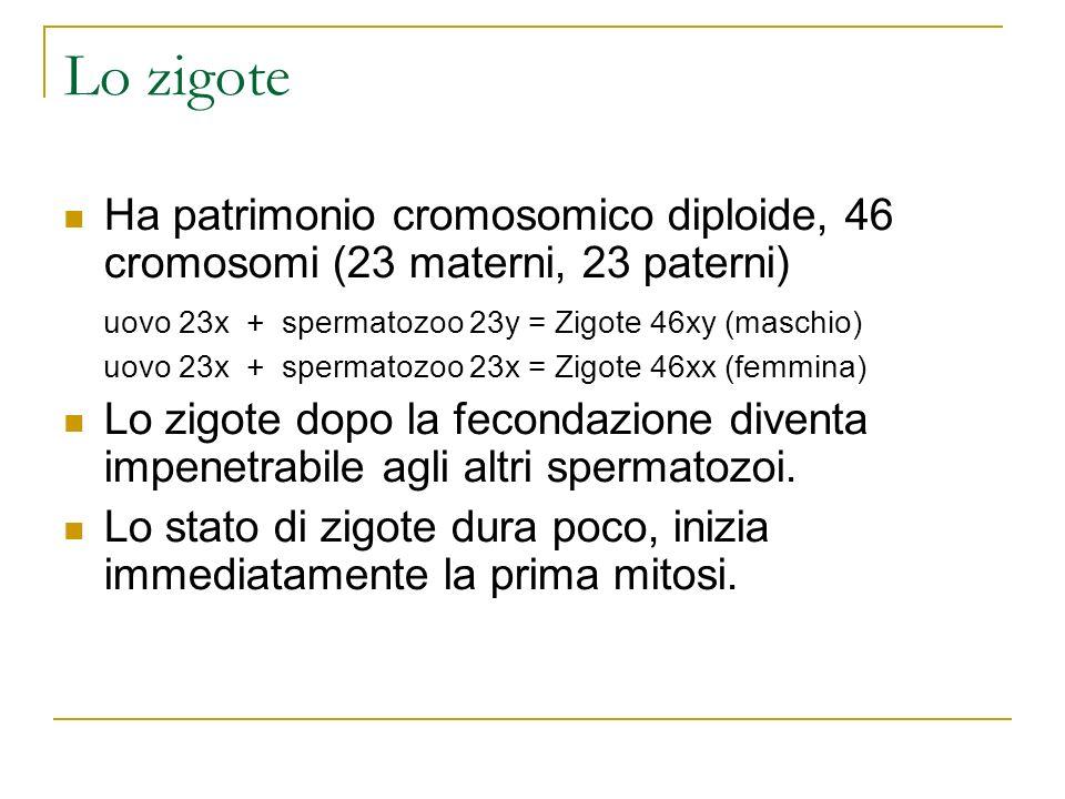Lo zigote Ha patrimonio cromosomico diploide, 46 cromosomi (23 materni, 23 paterni) uovo 23x + spermatozoo 23y = Zigote 46xy (maschio)