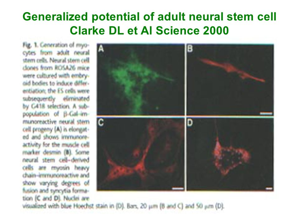 Generalized potential of adult neural stem cell Clarke DL et Al Science 2000