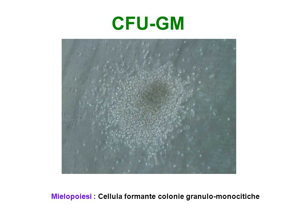 CFU-GM Mielopoiesi : Cellula formante colonie granulo-monocitiche