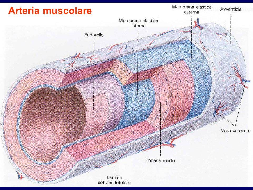 Arteria muscolare