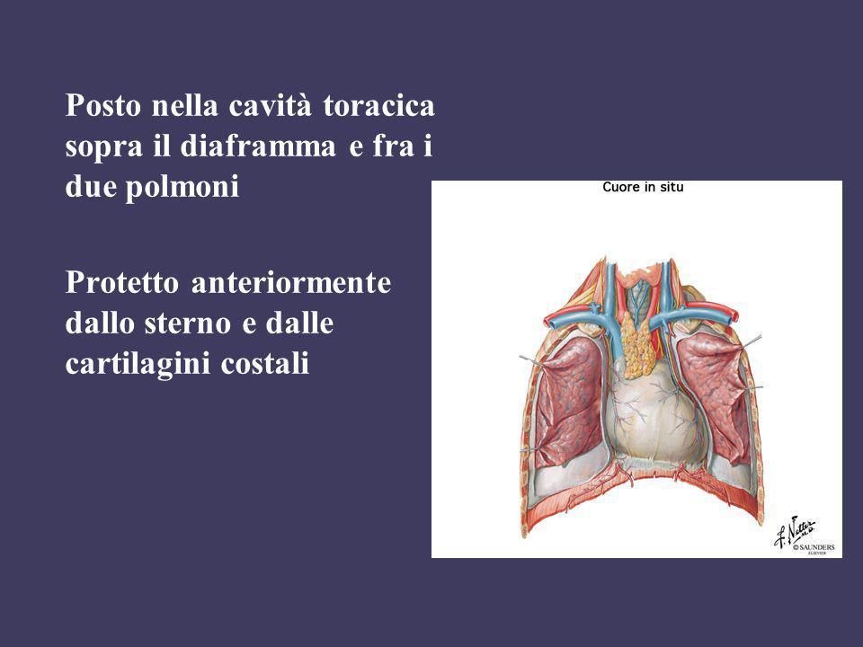 Posto nella cavità toracica sopra il diaframma e fra i due polmoni
