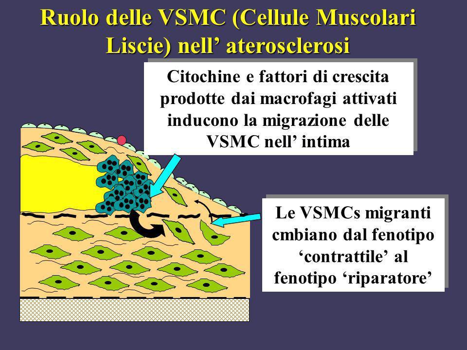 Ruolo delle VSMC (Cellule Muscolari Liscie) nell' aterosclerosi