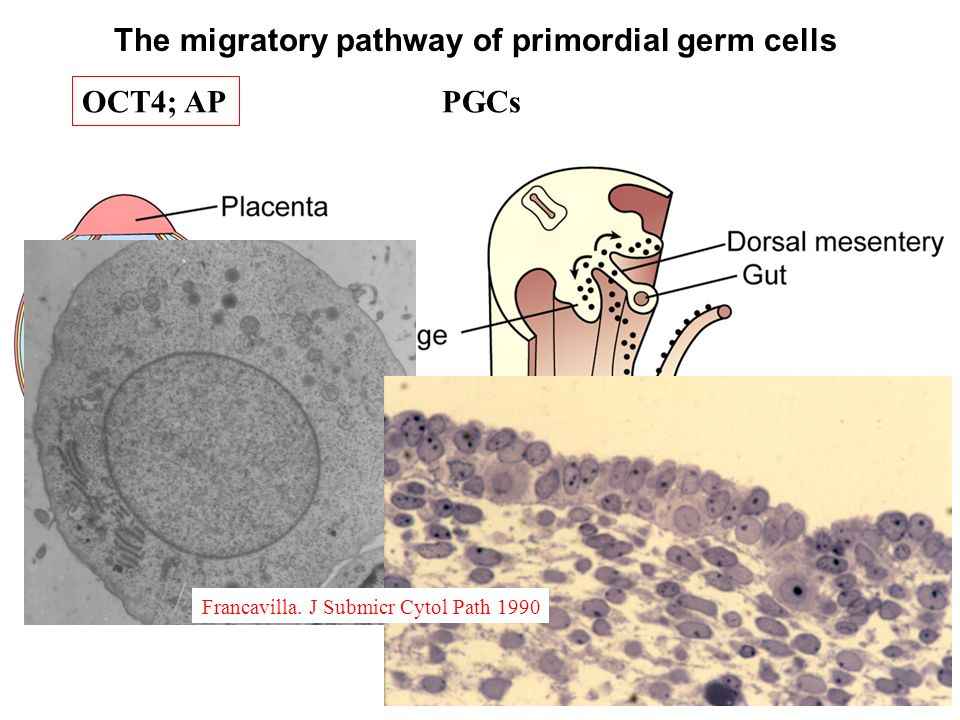 The migratory pathway of primordial germ cells