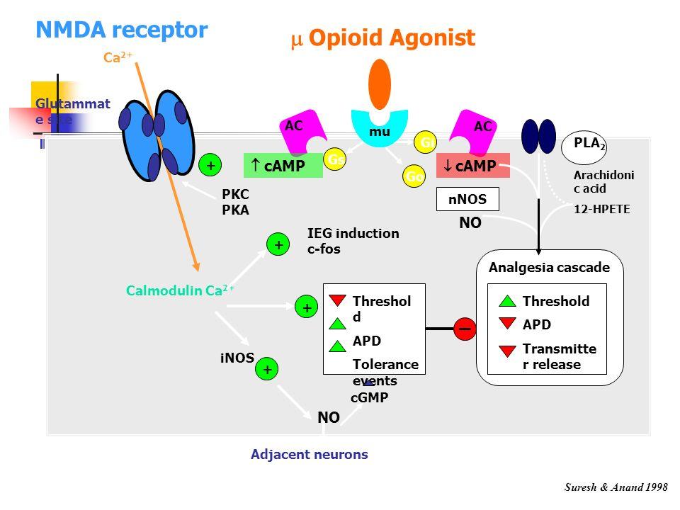 NMDA receptor m Opioid Agonist K+ channel  cAMP NO NO Ca2+