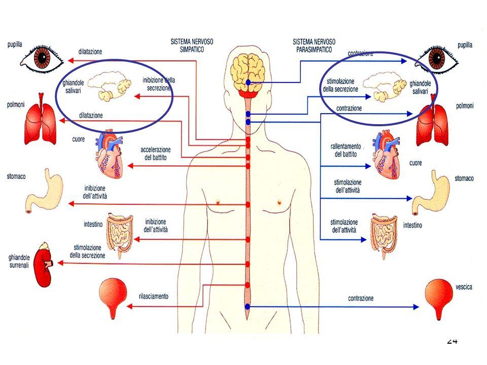 Le ghiandole salivari sono innervate dal sistema nervoso autonomo sia parasimpatico sia simpatico