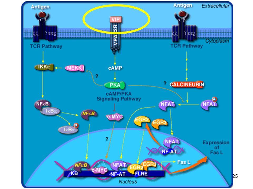Le funzioni del parasimpatico non sono basate solo sulla trasmissione colinergica, ma il sistema può ricorrere anche ad altri mediatori, tra cui sicuramente il più diffuso è il VIP (vasoactive intestinal peptide).
